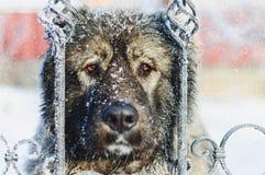 Snowy-Hund Alabai Lizenzfreies Stockfoto