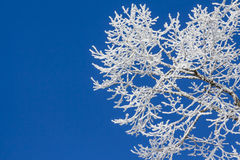 Snowy ice on tree in winter wonderland with blue sky. Beautiful white snow covering the branches of an old tree at a cold winter day Royalty Free Stock Photo