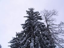 Snowy pine and tree Stock Photo