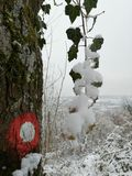 Snowy ivy on the marked tree. A marked tree in winter covered in snow, moss and ivy in a mountain forest stock photos