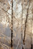 Snowy January morning in Nevsky forest Park. The Bank of the river Neva royalty free stock images
