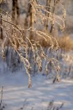 Snowy January morning in Nevsky forest Park. The Bank of the river Neva royalty free stock photo