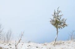 Snowy juniper tree in a field. winter landscape. Snowy juniper tree in a field. winter landscape royalty free stock image