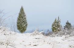 Snowy juniper tree in a field. winter landscape. Snowy juniper tree in a field. winter landscape royalty free stock photo
