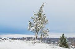 Snowy juniper tree in a field. winter landscape. Snowy juniper tree in a field. winter landscape stock photography