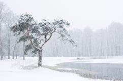 Snowy-Kiefer Stockfotografie