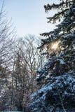 Snowy-Kiefer Lizenzfreies Stockfoto