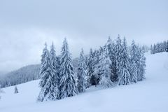 Snowy-Kiefer und nebeliger Himmel stockfotografie