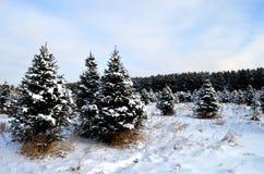 Snowy-Kiefern auf einem Gebiet Stockbild