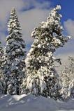 Snowy-Kiefern, vulkanischer Nationalpark Lassens lizenzfreie stockfotografie