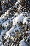 Snowy-Kiefernbogen Stockfotos