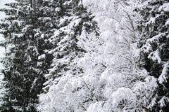 Snowy-Kieferniederlassungen im Winter Lizenzfreies Stockbild