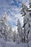 Snowy-Kieferwald Stockfoto