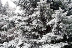 Snowy-Koniferenbäume lizenzfreie stockbilder