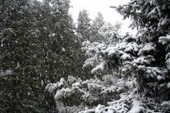 Snowy-Koniferenbäume stockfotos