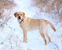 Snowy Lab Royalty Free Stock Photos