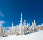 Snowy landscape. Winter snow covered fir trees on mountainside on blue sky background Stock Image