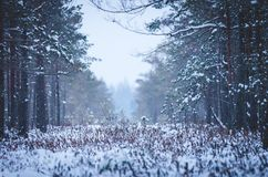 A snowy landscape in the bog. Framed with the pine trees royalty free stock photography
