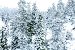 Snowy landscape with fir trees covered with snow