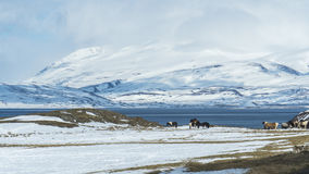 A snowy landscape with horses grazing. A few horses stand in the cold looking for food in the distance. Snow surrounds them, with a sheet of water and a large Stock Image