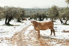 Snowy landscape with olive trees and cow Royalty Free Stock Photo