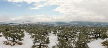 Snowy landscape with olive trees royalty free stock photos