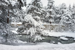 Snowy landscape of pine forest near the river Stock Photos