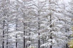 Snowy larch trees Stock Photo