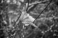 snowy leaf stranded in the branch of tree Royalty Free Stock Photo