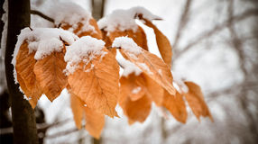Snowy Leaves 2 Royalty Free Stock Images