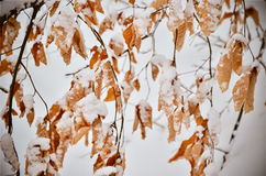 Snowy Leaves Stock Photography
