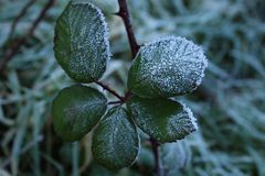 Snowy leaves in an autumn morning stock photo