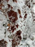 Snowy Leaves. Leave in Korea with snow and ice Stock Photos