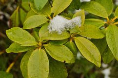 Snowy leaves of rhododendron. royalty free stock images