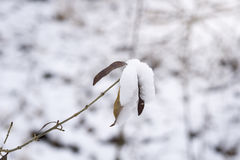 Snowy leaves in winter. frozen nature Royalty Free Stock Image