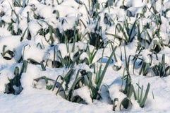 Snowy leek plants in a Dutch field Stock Photo