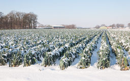 Snowy leek plants in a Dutch field Stock Images