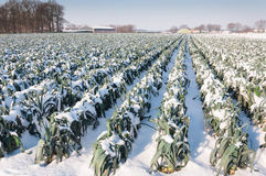 Snowy leek plants in a Dutch field. Agricultural field with mature leeks ready for harvest but now covered with snow Stock Image