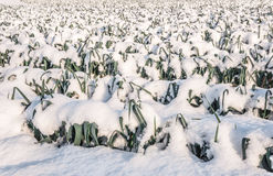 Snowy leek plants in the field Royalty Free Stock Photography
