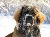 Snowy Leo. A young leonberger playing in the snow stock image