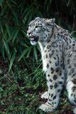 Snow leopard portrait in China Stock Photos
