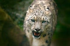 Snowy-Leopard Stellen Sie Porträt des Schneeleoparden mit grünem vegation, Kaschmir, Indien gegenüber Szene der wild lebenden Tie Stockfotografie