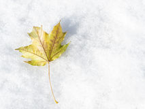 Snowy Maple Leaf Stock Photography