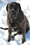 Snowy Mastiff Stock Image