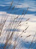 Snowy meadow. Tall grass against a snowy field Royalty Free Stock Photos