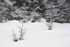 Snowy meadow with sprouts of tree in the winter forest royalty free stock photography