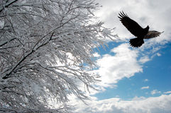 Snowy Morning. Raven flying above a snow-covered tree stock photo
