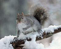 Snowy Morning Squirrel. A cute gray squirrel in winter sitting on a snowy tree branch Stock Photos