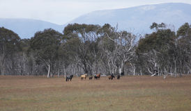 Snowy Mountain Brumbie Horses Royalty Free Stock Photo