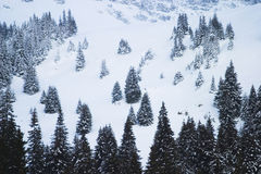 Snowy mountain forest. Snowy forest of pine trees on mountainside Royalty Free Stock Photography